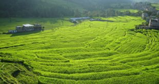 Hybrid Rice poses significant revenue possibilities over the coming years